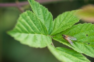 Snipe fly (Rhagionidae).