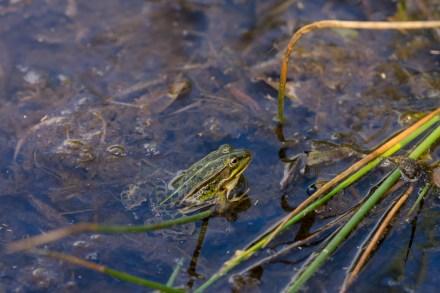 Pool frog (Pelophylax sp.).