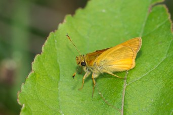 Essex skipper (Thymelicus sp., I think it's lineola).