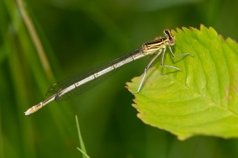 White-legged damselfly (Platycnemis pennipes), young male.