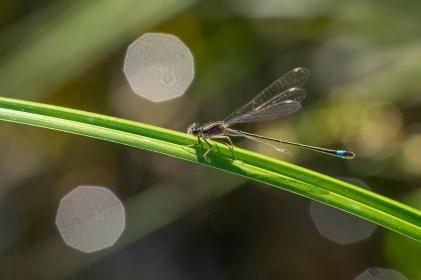 Ischnura elegans, blue female.