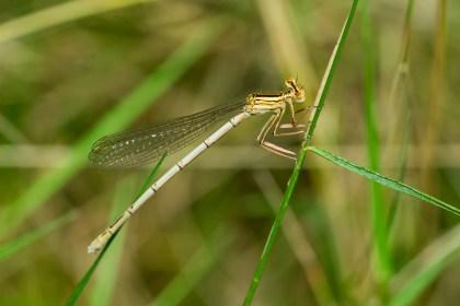 Platycnemis pennipes, female.