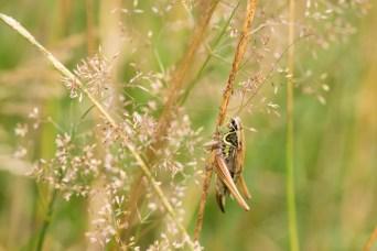 Another grasshopper.
