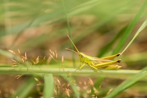 Yellow grashopper.