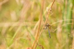 Orthetrum sp., female.