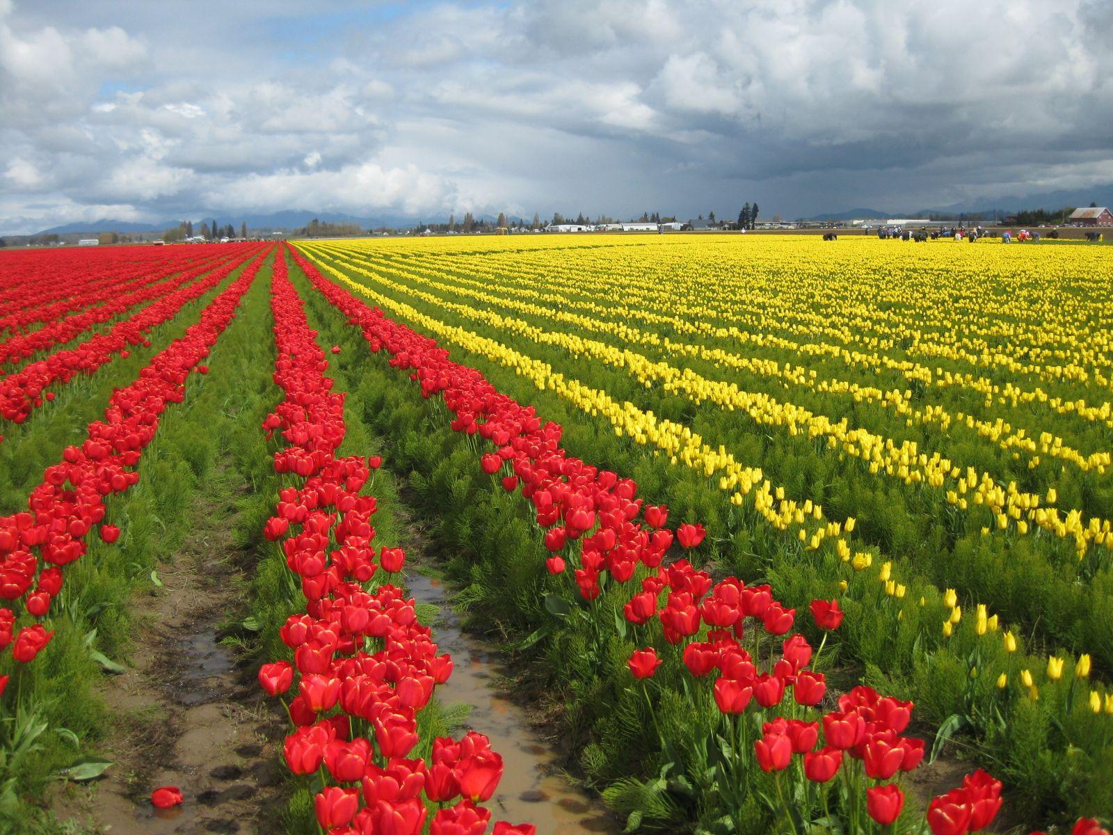 Skagit Valley Tulip Festival  Toms Gardens
