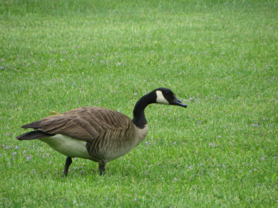 Goose-On-The-Grass