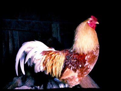 chicken-in-the-coop
