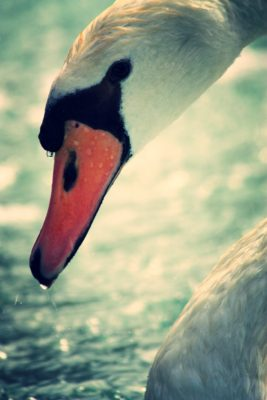 swan-edit