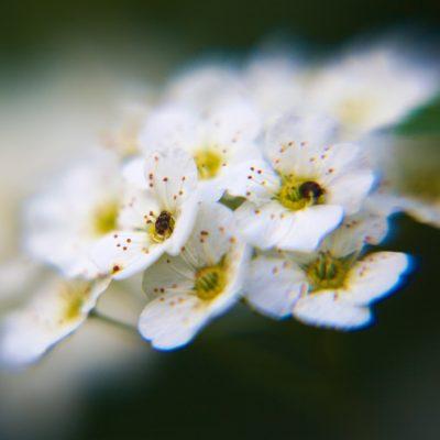 tiny-white-flowers