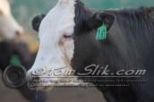 Lynn & Sam Team Cow Sorting 5-18-2016 0111