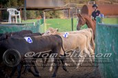 Lynn & Sam Team Cow Sorting 5-18-2016 0150