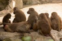 Baboons grooming