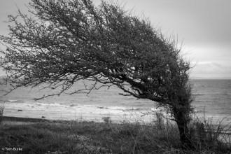 Tree above Drumadoon Bay