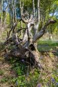 Woodland fallen tree