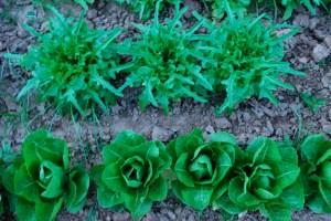 Lettuce6_13