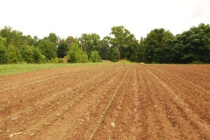 Newly planted Fall brassicas in a field that was previously pasture.