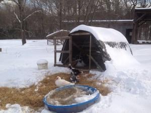 snowy_ducks_Feb2015
