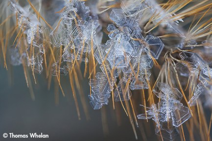 Foxtail frost