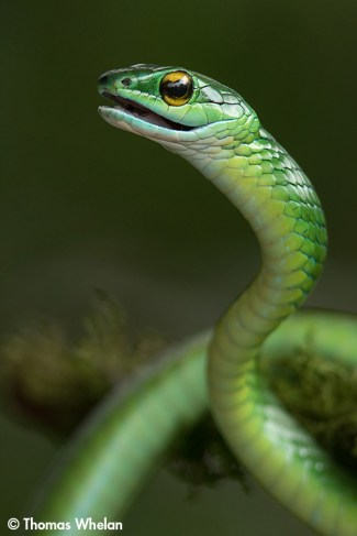 Mexxican parrot snake