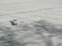 bėgantis_balandis_Agnusyte_foto