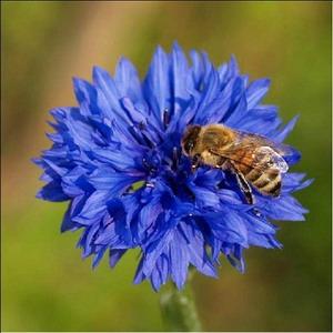 bitė rugiagėlėse