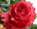 mamai_gėlė_rožė