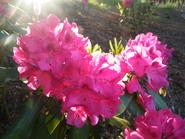 rododendrai-Agnusyte 2010