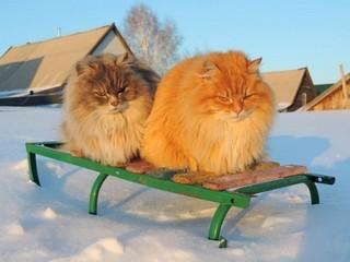 Sibiro katės