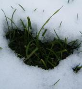 širdutė_sniege_Agnusyte2009