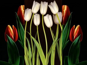 tulpės