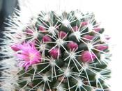 žydintis_kaktusas_Agnusyte_foto