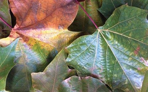 London Plane Tree Leaves