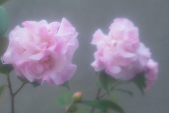Cassandra Tondro camellias