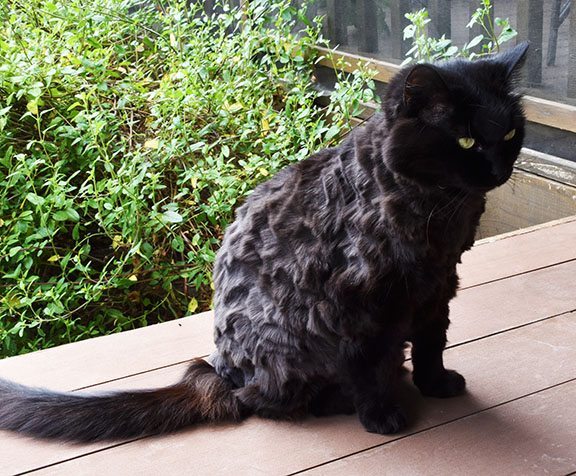 Luci the cat with summer haircut