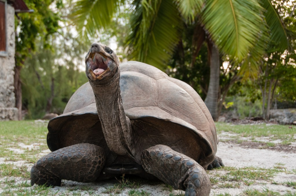 Giant aldabra tortoise opening its mouth