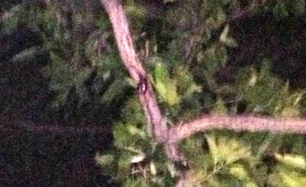 クヌギ木につかまるノコギリクワガタのペア