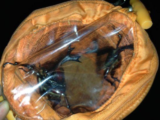 虫かごに入ったカブトムシとノコギリクワガタ