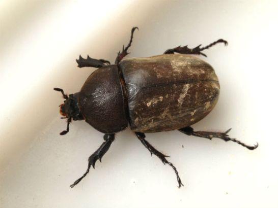 河川敷で採集したカブトムシのメス成虫