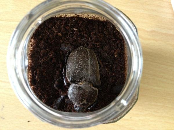 蛹室セットで羽化したカブトムシのメス