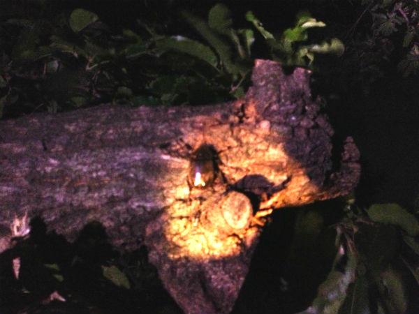 クヌギの樹液を吸うカブトムシのメス