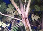 カブト4匹ノコギリ1匹採集!河川敷ではようやくカブトムシが活動開始!