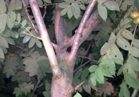河川敷のオニグルミのカブトムシの♂