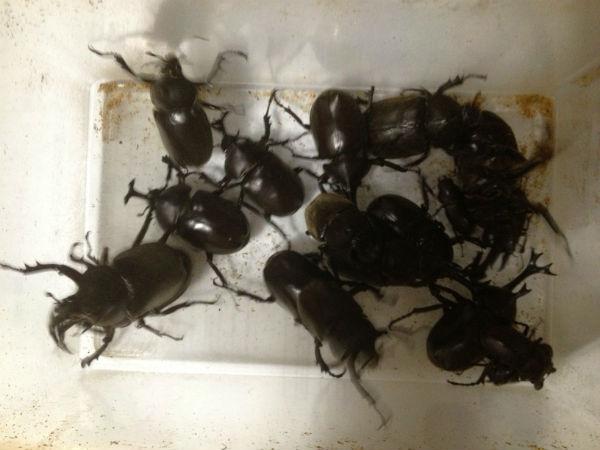 7月12日夜に河川敷で採集したカブトムシとノコギリクワガタ