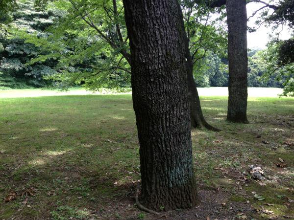 明治神宮のクヌギの木