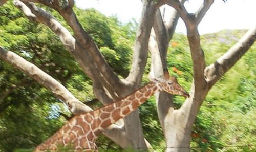 ホノルル動物園 キリン