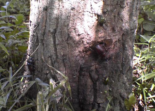 カブトムシ 樹液
