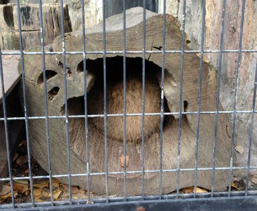 ニホンアナグマ 野毛山動物園