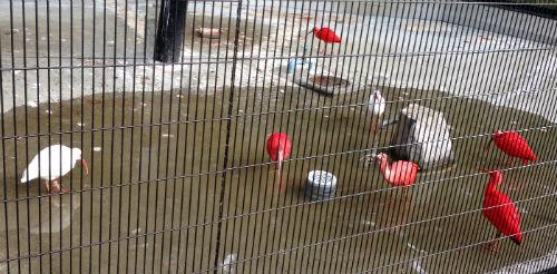 シロトキ ショウジョウトキ 野辺山動物園