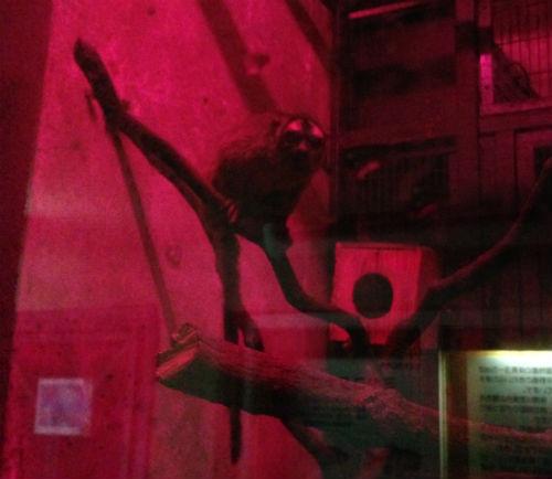 ヨザル 野毛山動物園